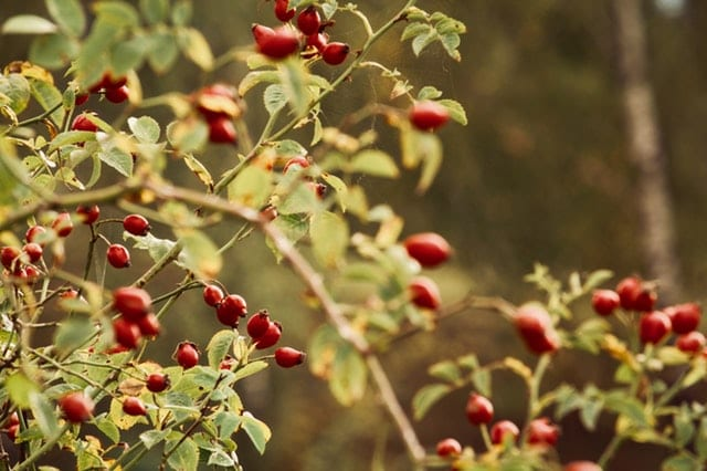 What is Rosehip good for