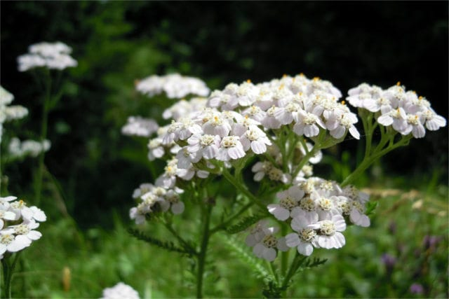 Yarrow, a healing herb with long tradition