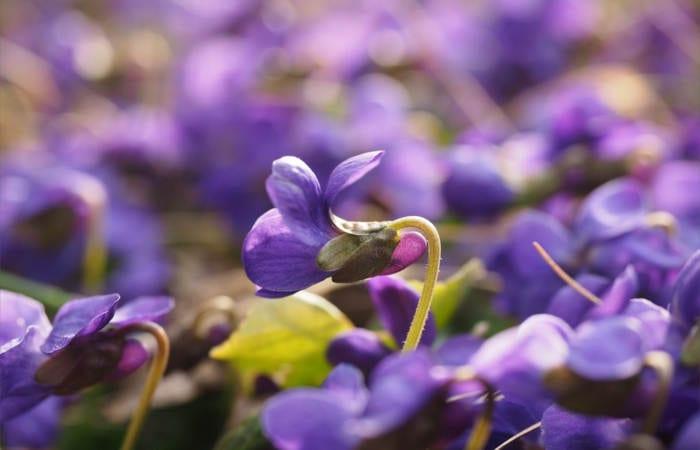 Violet Creme