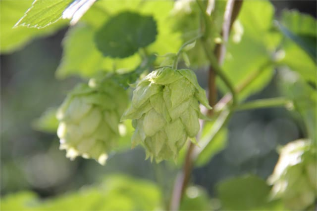 health benefits of beer 3