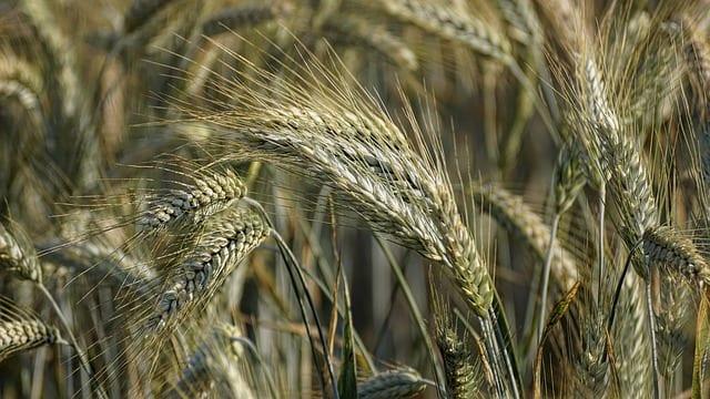 Rye, a healthy grain