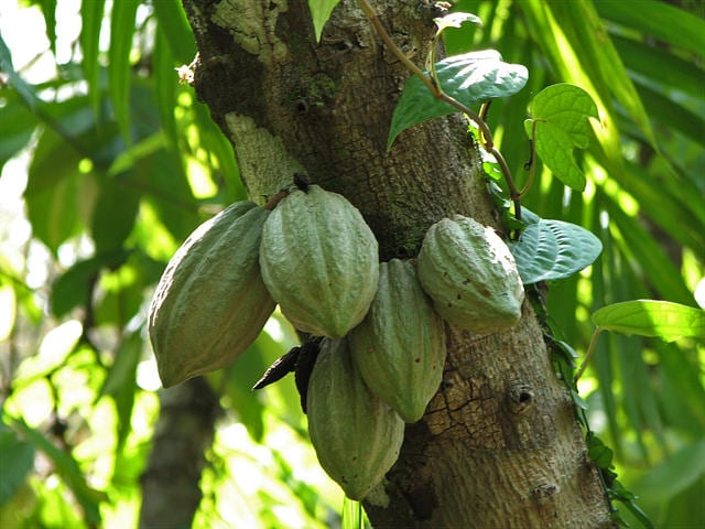 Cacao Beans and Dark Chocolate Benefits