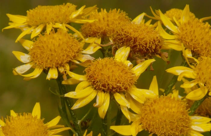 History of Arnica
