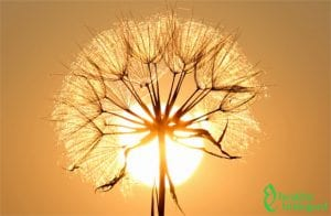A dandelion, a plant used for holistic wellness purposes by Hildegard von Bingen.