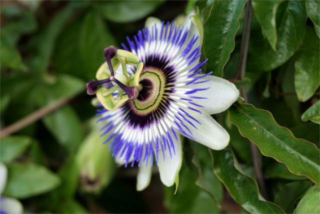 passionflower benefits
