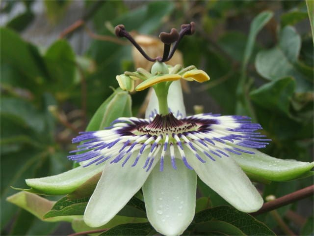 passion flower benefits