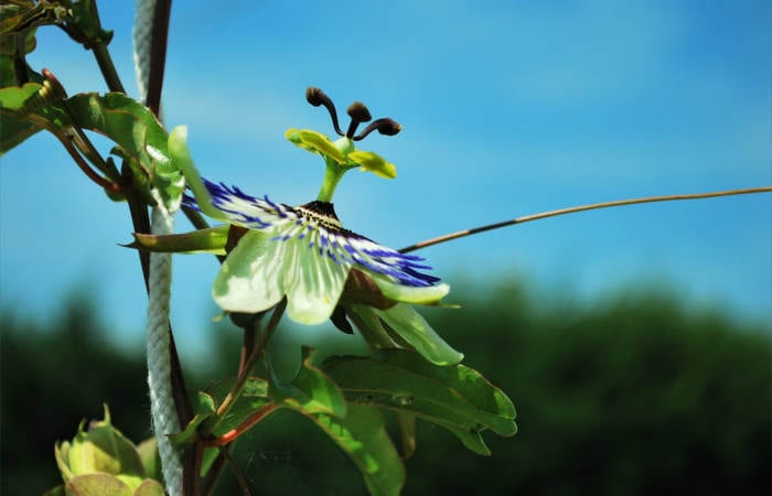 Ancient Passion Flower Benefits