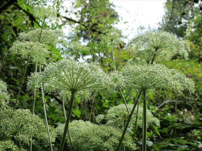 Angelica flowers