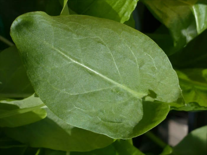Common Sorrel Leaf