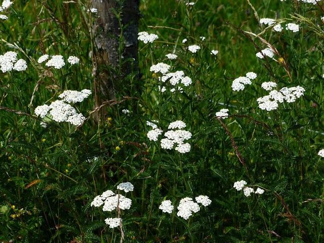 yarrow plant uses