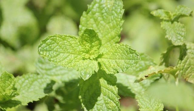 Peppermint mentha piperita health benefits