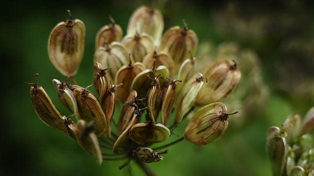 anise aniseed