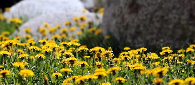 Dandelions are a source of healthy bitters | Healthy Hildegard