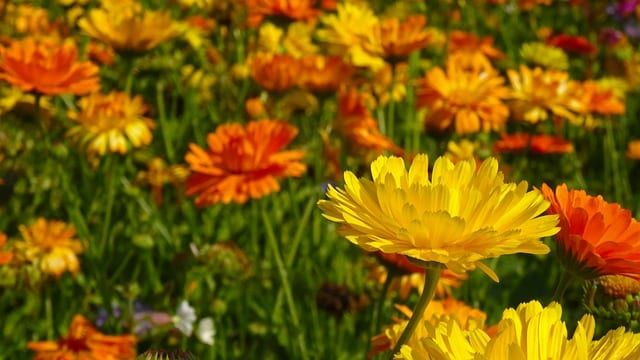 marigold calendula health benefits and uses