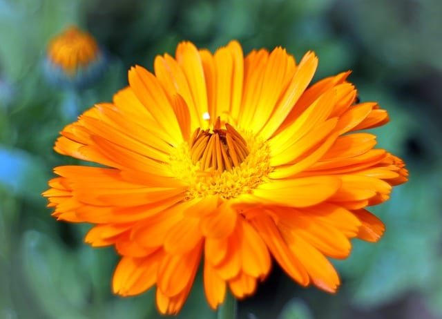 marigolds flower uses