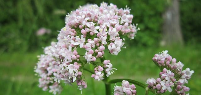 Natural remedies anxiety and stress valerian valeriana officinalis