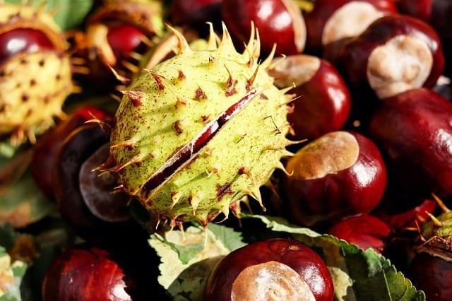 Buckeye Horse Chestnuts