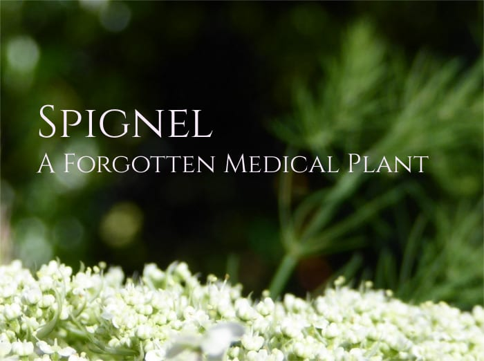 Spignel (Meum athamanticum), a Forgotten Medicinal Plant