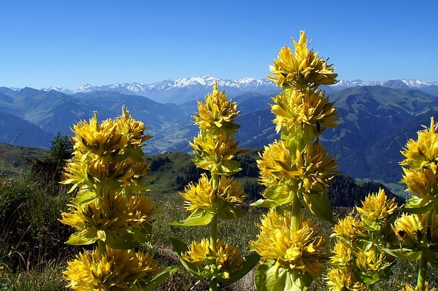 yellow gentian bitter herb