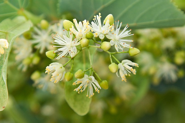 linden tea health benefits
