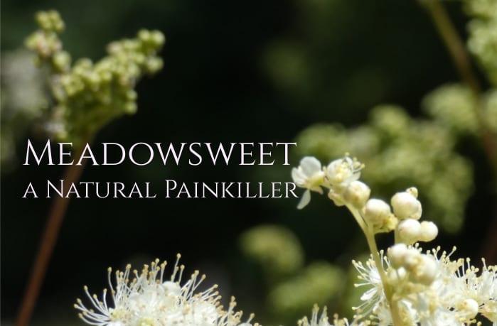Meadowsweet Herb, A Natural Painkiller