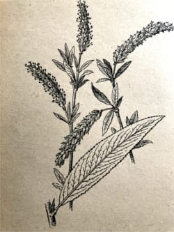 Willow bark medical plant