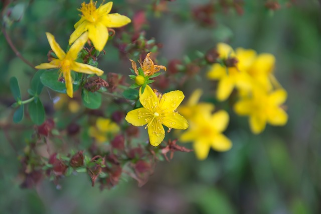 Benefits of St. John's Wort