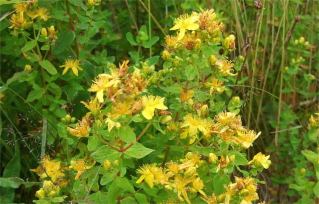 St. John's Wort Dosage